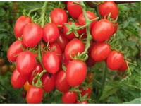 走进自然采摘深圳亲子田园乐采摘项目—番茄